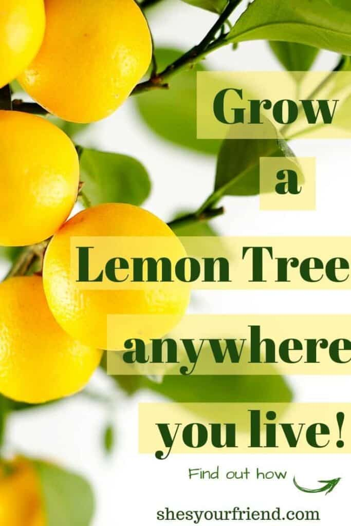growing a dwarf lemon tree